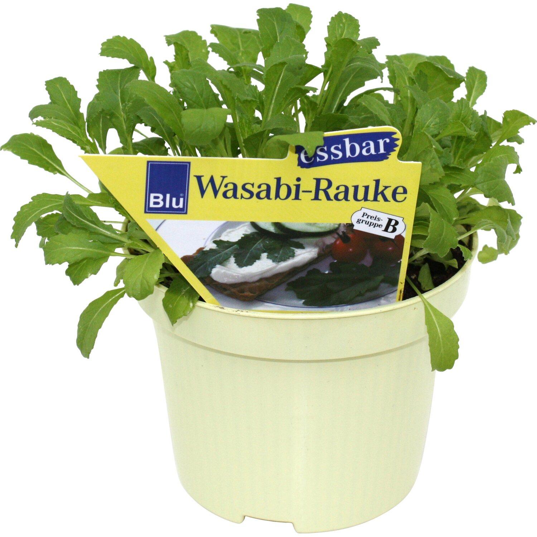 wasabi rauke topf ca 12 cm diplotaxis kaufen bei obi. Black Bedroom Furniture Sets. Home Design Ideas