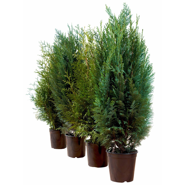 scheinzypresse columnaris h he ca 80 100 cm topf ca 4 l chamaecyparis kaufen bei obi. Black Bedroom Furniture Sets. Home Design Ideas