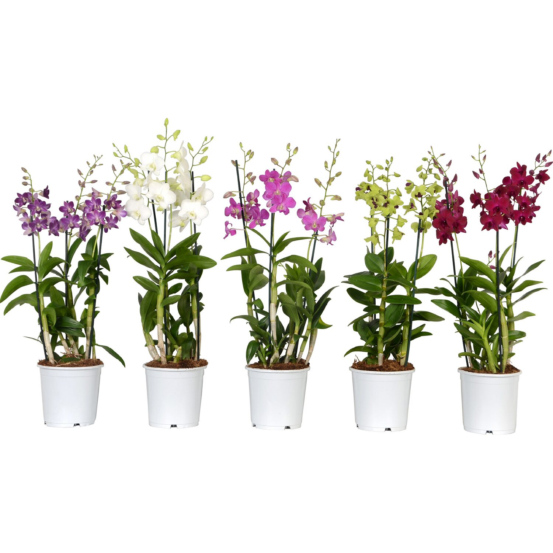 Bambus Orchidee Sa Nook 3 Trieber Topf O Ca 19 Cm Kaufen Bei Obi