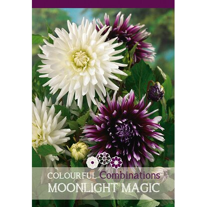 "Dahlien ""Moonlight Magic"" Mischung"