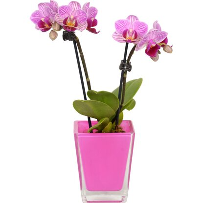 Mini Schmetterlings Orchidee 2 Trieber in Cube Glas Gefäss