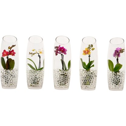 Mini Schmetterlings Orchidee 1 Trieber in Bauchglas Topf Ø ca. 6 cm