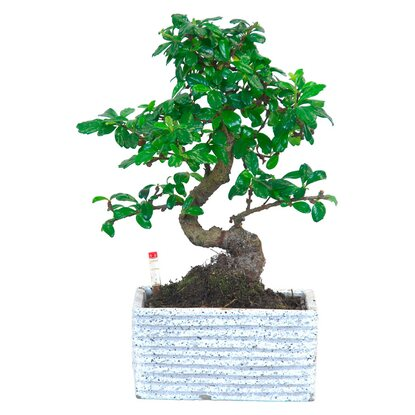"Bonsai ""Easy Care"" Topf Ø ca. 17 cm"