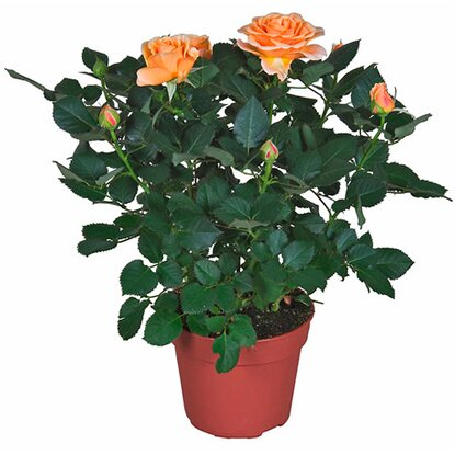 "Rose ""Palace"" Orange Topf Ø ca. 17 cm"