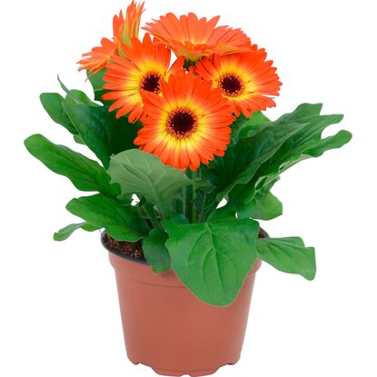 "Gerbera ""Twister"" Orange Topf Ø ca. 12 cm"