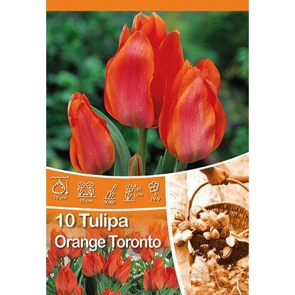 "Mehrblütige Tulpe ""Orange Toronto"""