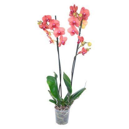 "Schmetterlings Orchidee ""Surf Song"" 2 Trieber Orange"