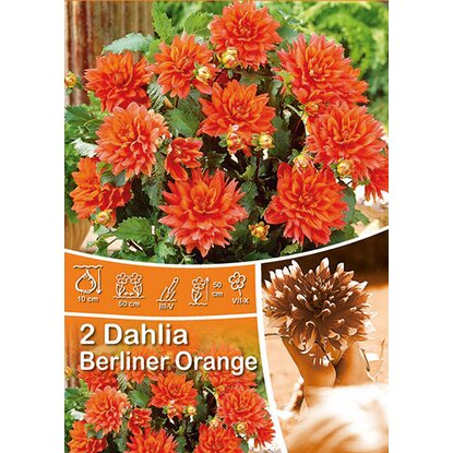 "Dahlien ""Berliner Orange"" Orange"