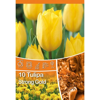 "Triumph Tulpe ""Strong Gold"""