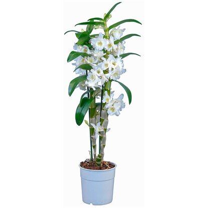 Bambus Orchidee Star Class 2 Trieber Weiss Kaufen Bei Obi