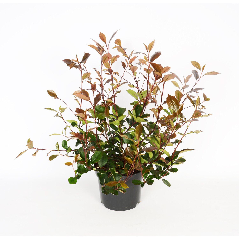 photinia pink marble busch kaufen bei obi. Black Bedroom Furniture Sets. Home Design Ideas
