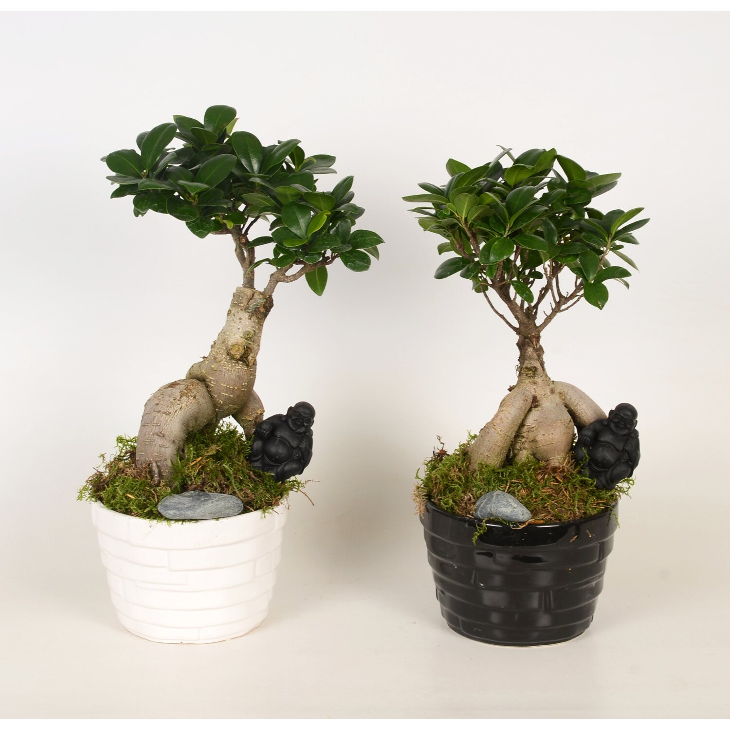 ficus microcarpa ginseng in keramik topf 17 cm kaufen bei obi. Black Bedroom Furniture Sets. Home Design Ideas