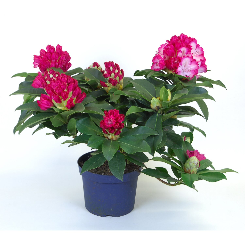 rhododendron xxl 19 cm topf kaufen bei obi. Black Bedroom Furniture Sets. Home Design Ideas