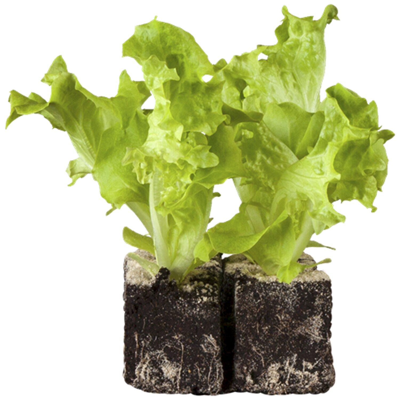 gem se und salat je 12 jungpflanzen kaufen bei obi. Black Bedroom Furniture Sets. Home Design Ideas