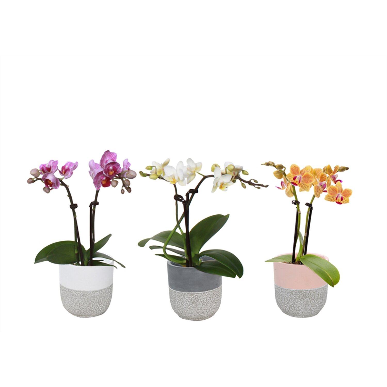 """schmetterlings-orchidee """"phalaenopsis"""" 2-trieber in lily-beton-topf"""