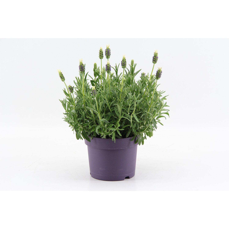 Lavandula stoechas anouk white im 17 cm topf kaufen bei obi - Duftende gartenpflanze ...