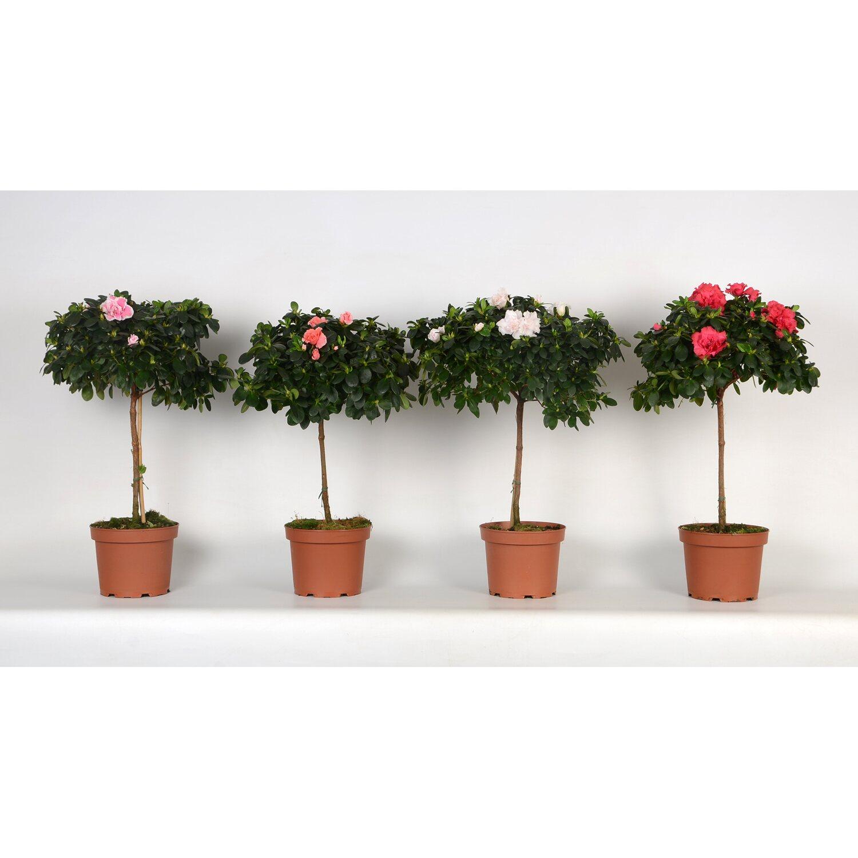 japanische azalee rhododendron obtusum mix kaufen bei obi. Black Bedroom Furniture Sets. Home Design Ideas