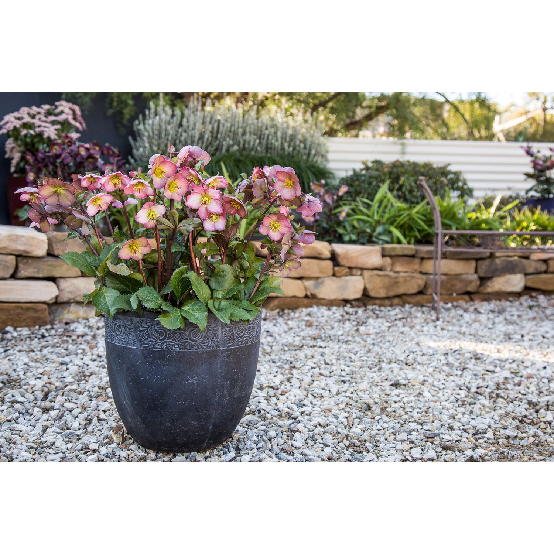 christrose helleborus niger frostkiss cheryls shine kaufen bei obi. Black Bedroom Furniture Sets. Home Design Ideas