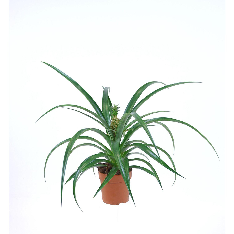 Ananaspflanze Corona Kaufen Bei Obi