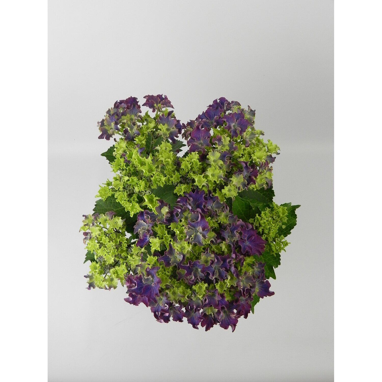 Bauernhortensie Double Sensation Topf ø 19 Cm Hydrangea Macrophylla
