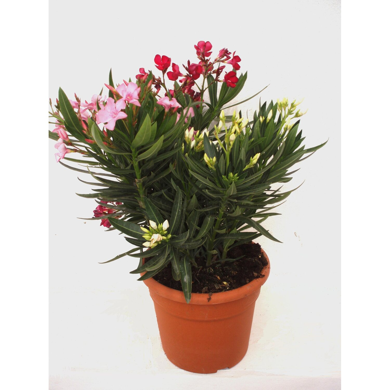nerium oleander tricolor kaufen bei obi. Black Bedroom Furniture Sets. Home Design Ideas