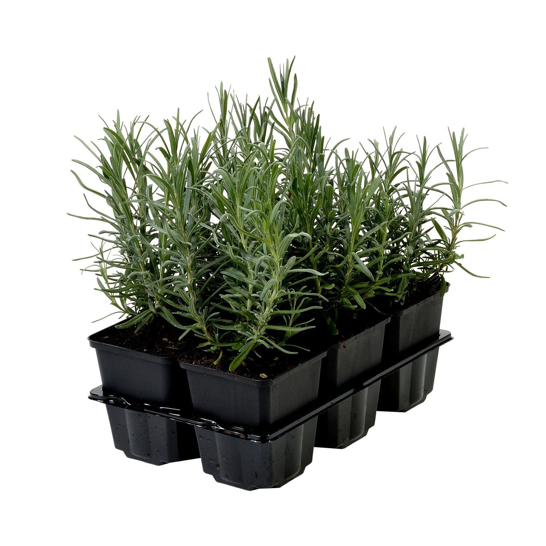 bodendecker lavandula angustifolia munstead kaufen bei obi. Black Bedroom Furniture Sets. Home Design Ideas