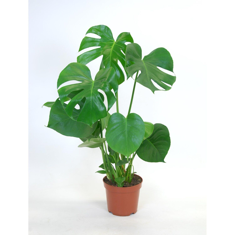 Sonstige gr npflanzen kaufen bei obi for Shop zimmerpflanzen