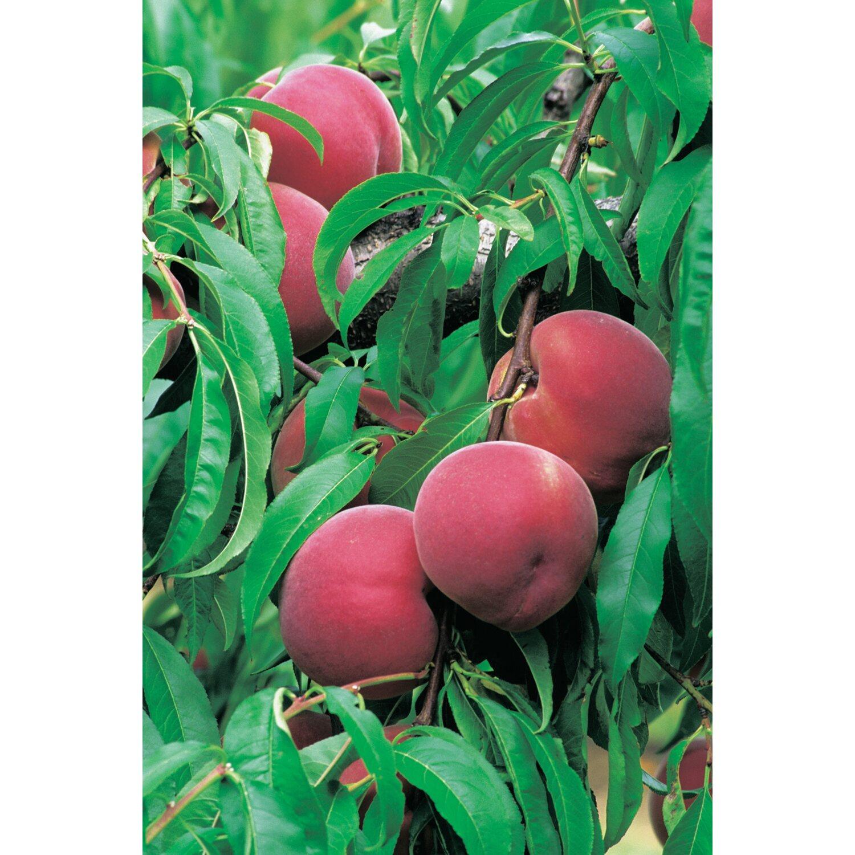Pfirsichbäume Kaufen Bei Obi - Obi.ch Gartengerate Und Gartenzubehor Tipps Zur Aufbewahrung Pflege