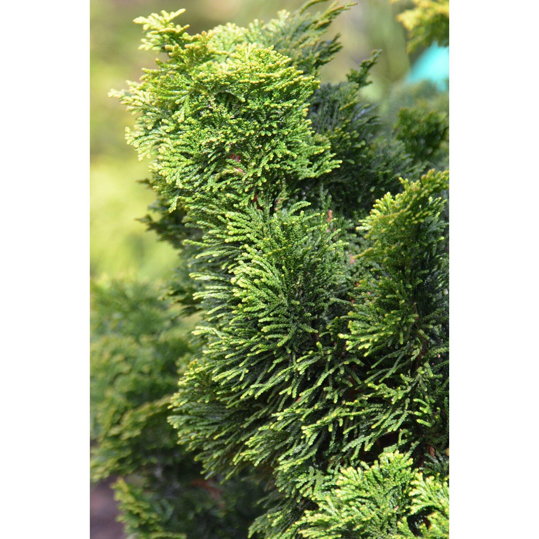 zwerg muschelzypresse dunkelgr n 3 7 l kaufen bei obi