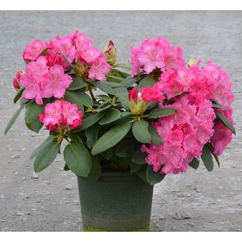 rhododendron germania rosa 6 l kaufen bei obi. Black Bedroom Furniture Sets. Home Design Ideas