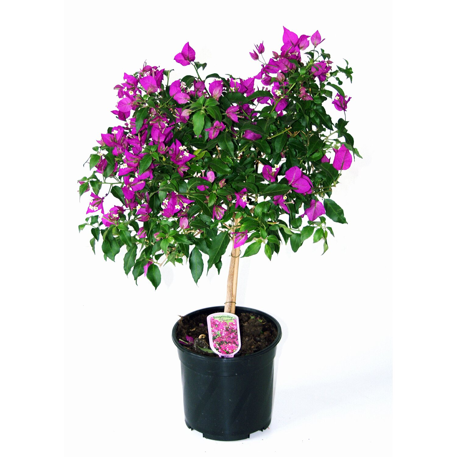 drillingsblume ministamm topf ca 16 cm bougainvillea. Black Bedroom Furniture Sets. Home Design Ideas