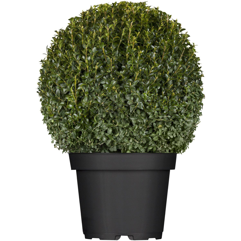 buchsbaum kugel 20 cm - 30 cm topf 4 l buxus kaufen bei obi