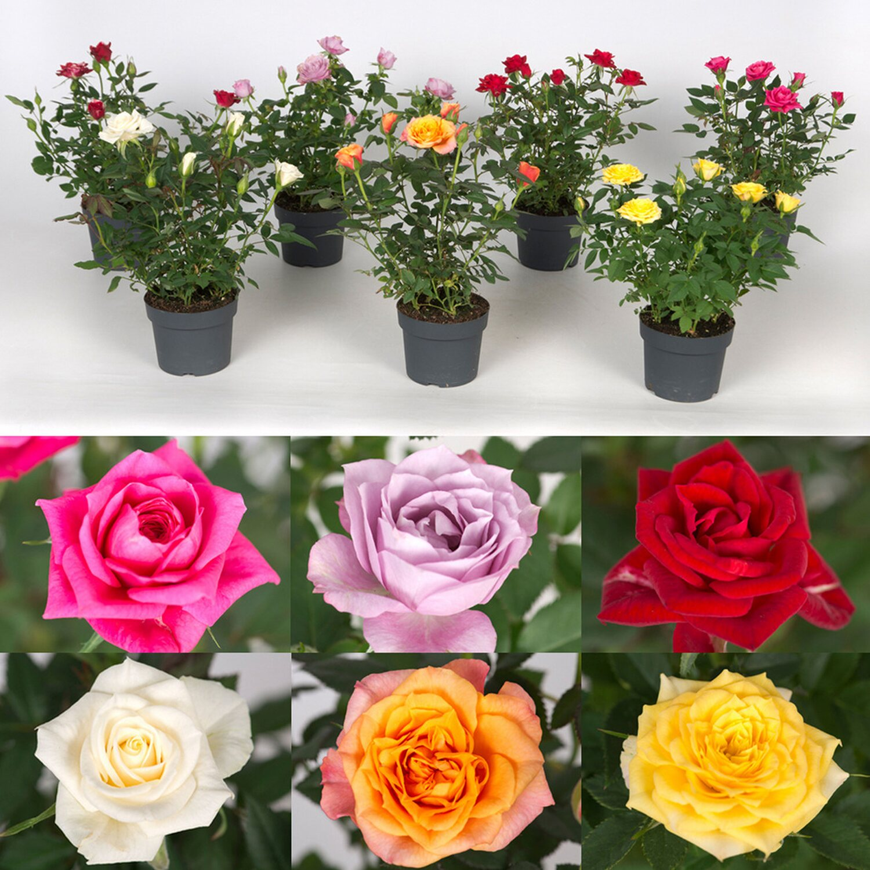 Zimmer rose parade kaufen bei obi - Kletterpflanzen zimmer ...
