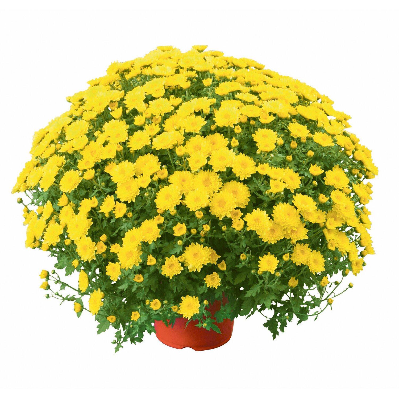 Herbst Chrysantheme Busch Chrysanthemum Topf O Ca 19 Cm Kaufen