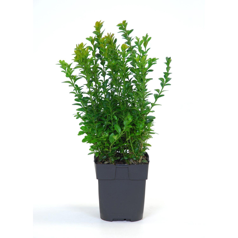 Buchsbaum kaufen bei OBI OBI