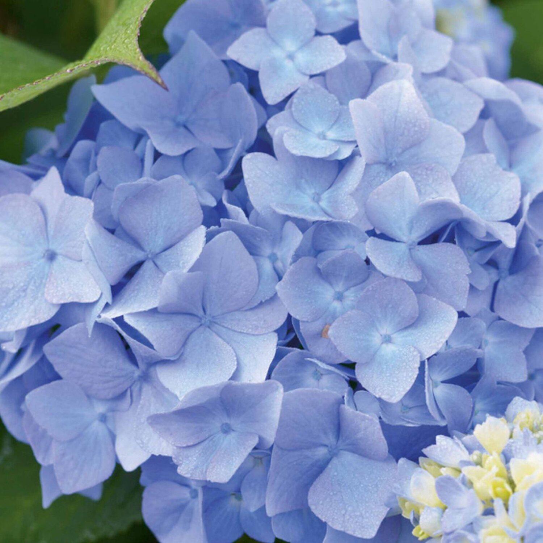 hortensie endless summer blau 15 l kaufen bei obi. Black Bedroom Furniture Sets. Home Design Ideas