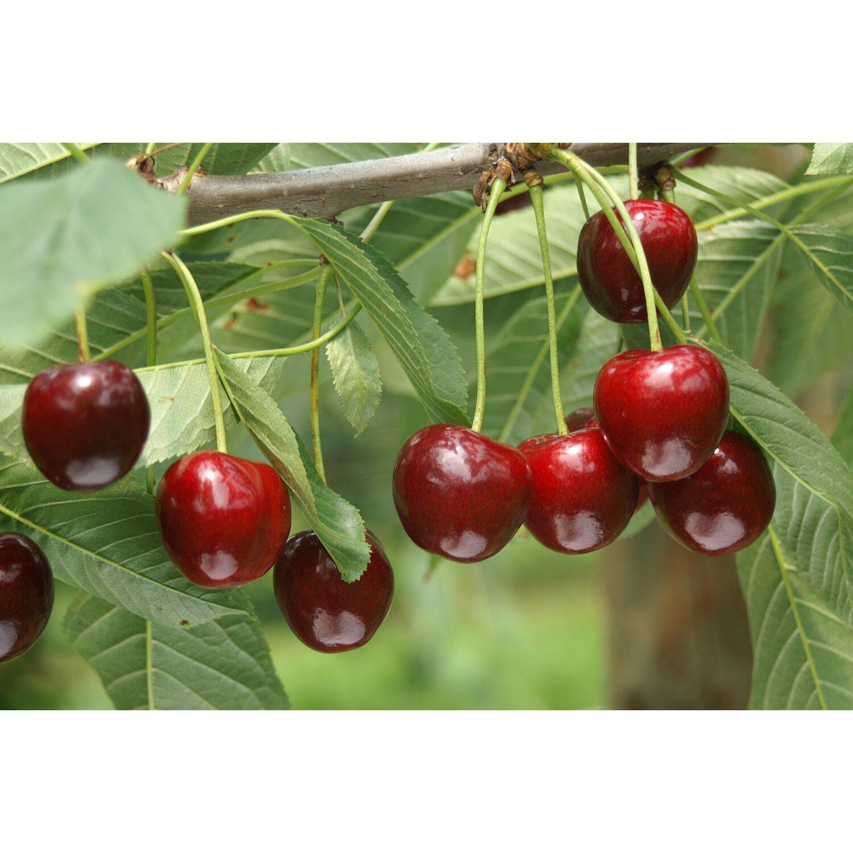 Obstbaume Kaufen Bei Obi Obi Ch
