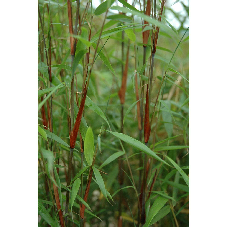 bambus asien wonder gr n 15 l kaufen bei obi. Black Bedroom Furniture Sets. Home Design Ideas