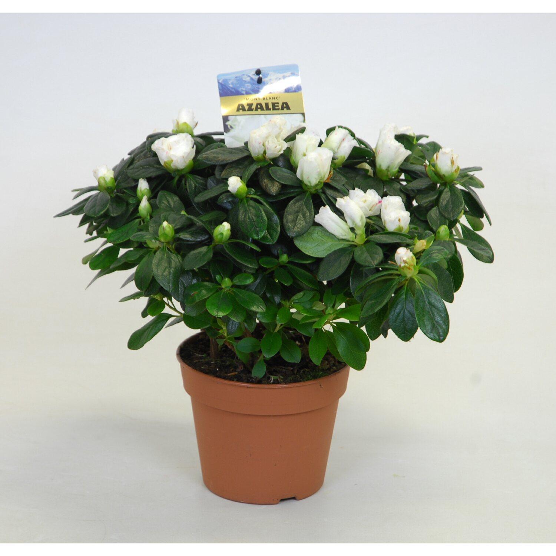 azalea rhododendron weiss 27 cm 30 cm kaufen bei obi. Black Bedroom Furniture Sets. Home Design Ideas