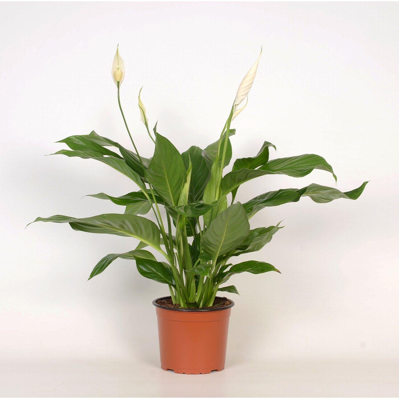 Zimmerpflanzen Kaufen Bei Obi Obich