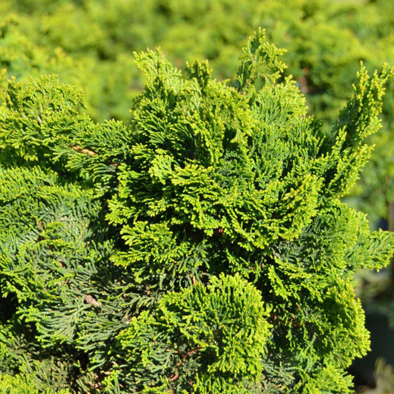 zwerg muschelzypresse dunkelgr n 6 l kaufen bei obi