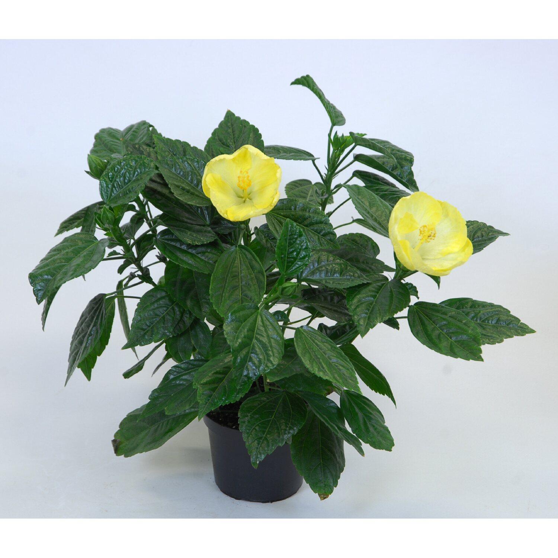 hibiscus rosa sinensis 3 5 trieber gelb kaufen bei obi. Black Bedroom Furniture Sets. Home Design Ideas