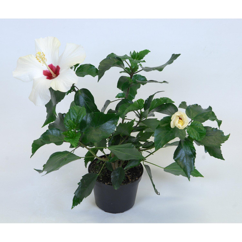 hibiscus rosa sinensis 3 5 trieber weiss kaufen bei obi. Black Bedroom Furniture Sets. Home Design Ideas