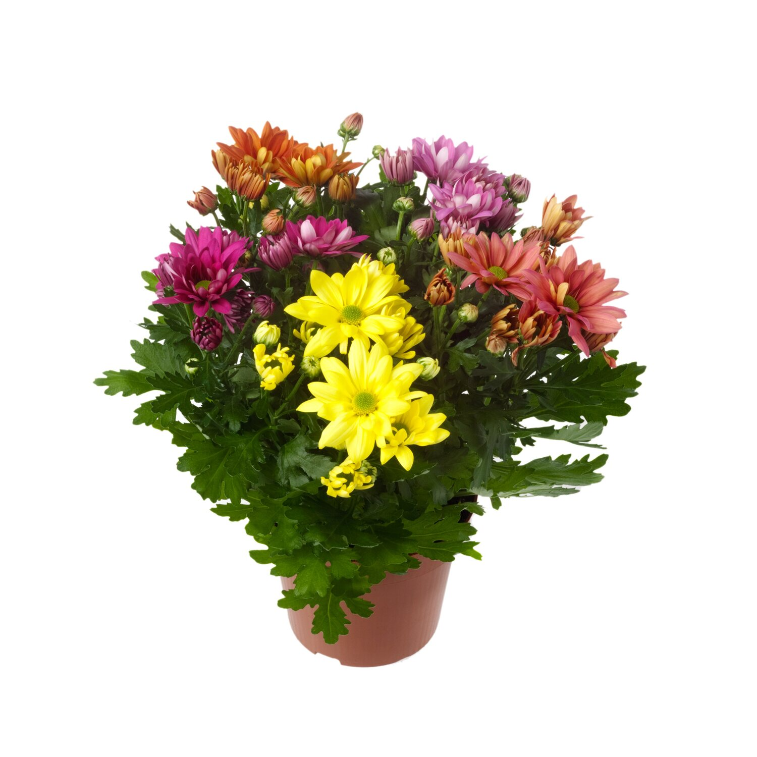 Herbst Chrysantheme Rock N Roll Topf O Ca 14 Cm Chrysanthemum