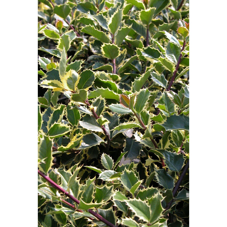 Gelbbunte Stechpalme Rubicaulis Aurea Gelb Grün 5 L Kaufen Bei Obi