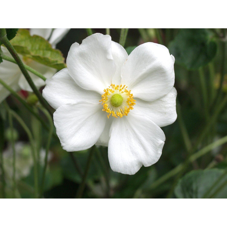 Geliebte Garten-Anemone Weiss Topf-Ø ca. 12 cm Anemone kaufen bei OBI &PG_22