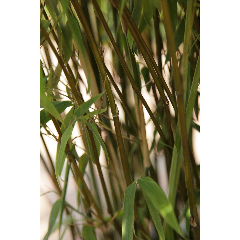 bambus super jumbo gr n 15 l kaufen bei obi. Black Bedroom Furniture Sets. Home Design Ideas