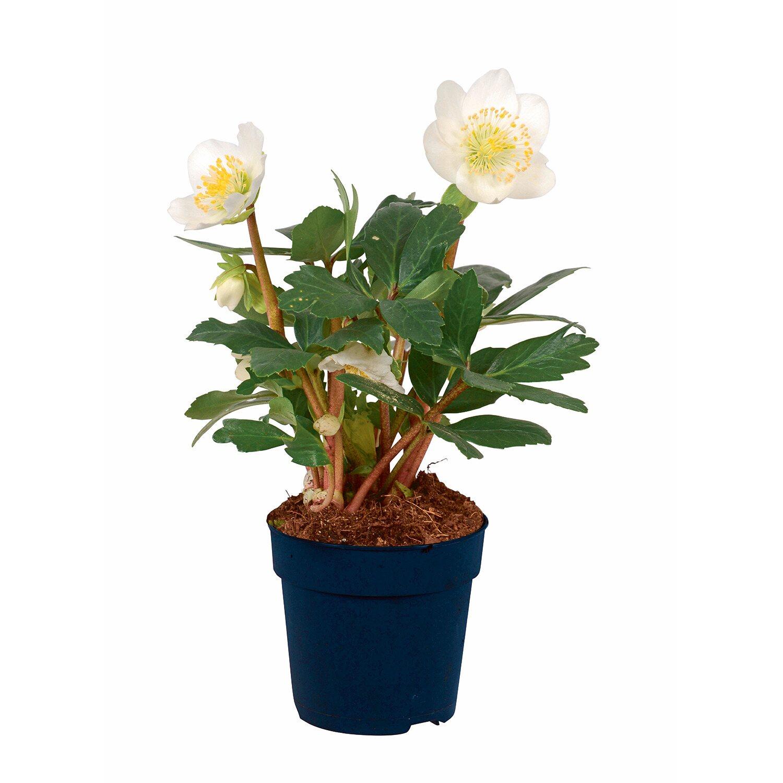 christrose weiss topf ca 9 cm helleborus niger kaufen. Black Bedroom Furniture Sets. Home Design Ideas