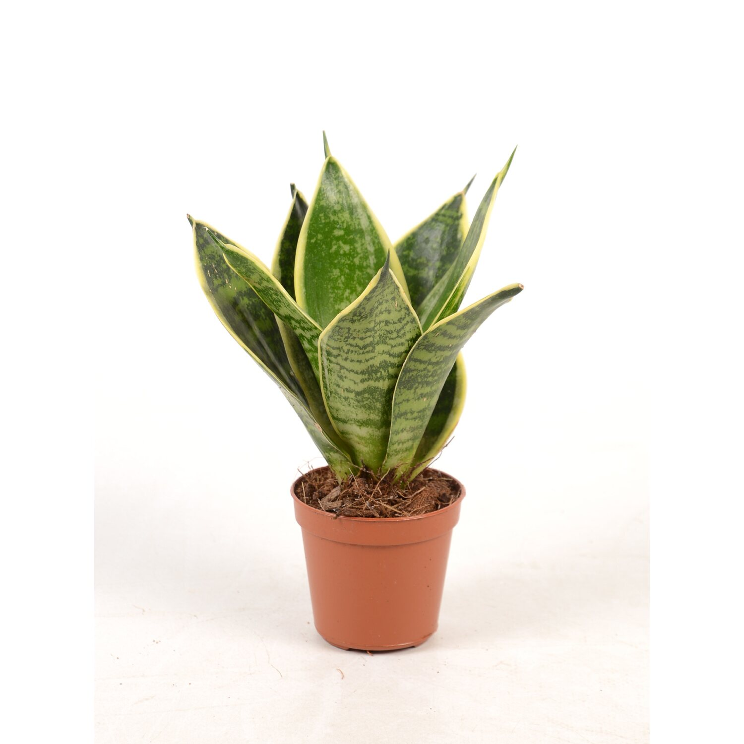 sansevieria trifasciata golden hahnii im 5 5 cm topf kaufen bei obi. Black Bedroom Furniture Sets. Home Design Ideas