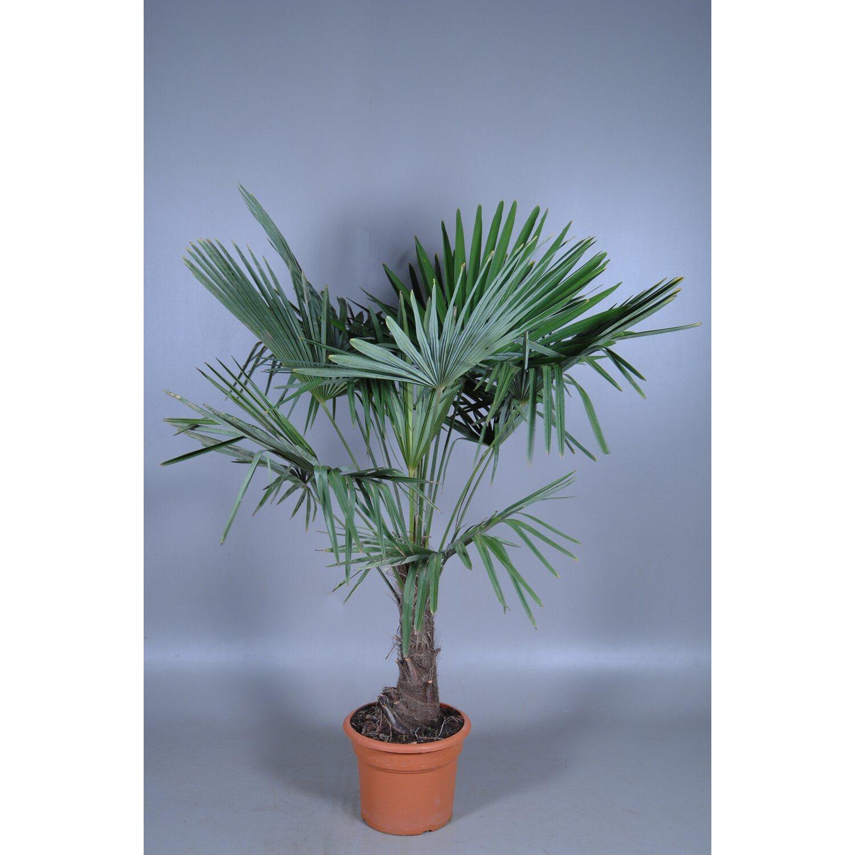 trachycarpus fortunei stamm topf 55 l kaufen bei obi. Black Bedroom Furniture Sets. Home Design Ideas